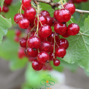 Red currants Laxton