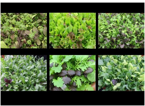 Baby Leaf Seed Collections